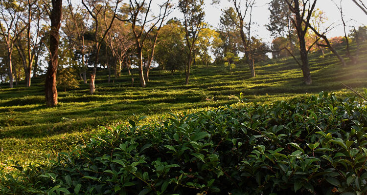 Kangra Tea Gardens – Tea Companion